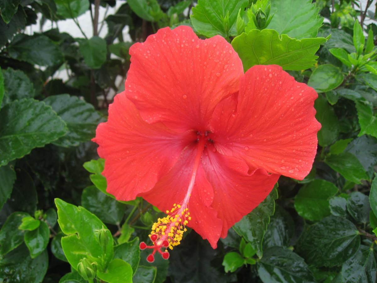 Free Images : petal, botany, flora, shrub, malvales ...