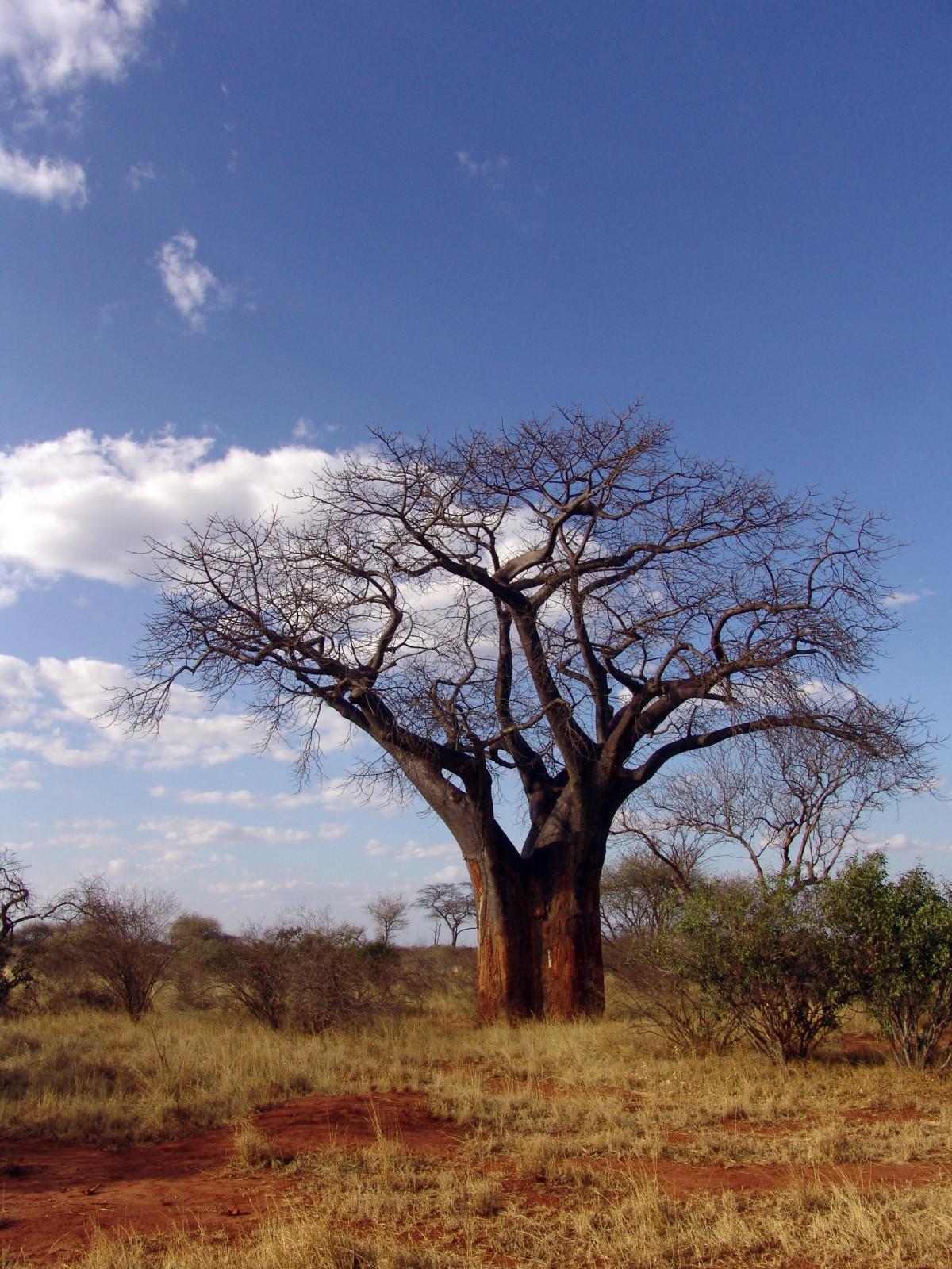 images gratuites arbre branche plante fleur brindille mains des doigts baobab. Black Bedroom Furniture Sets. Home Design Ideas