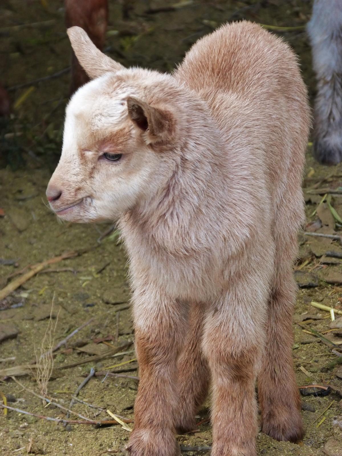 Gambar : anak, margasatwa, kambing, domba, binatang ...