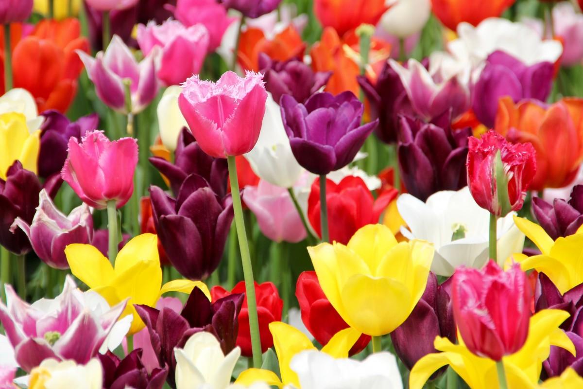 Free Images : flower, petal, tulip, spring, wildflower
