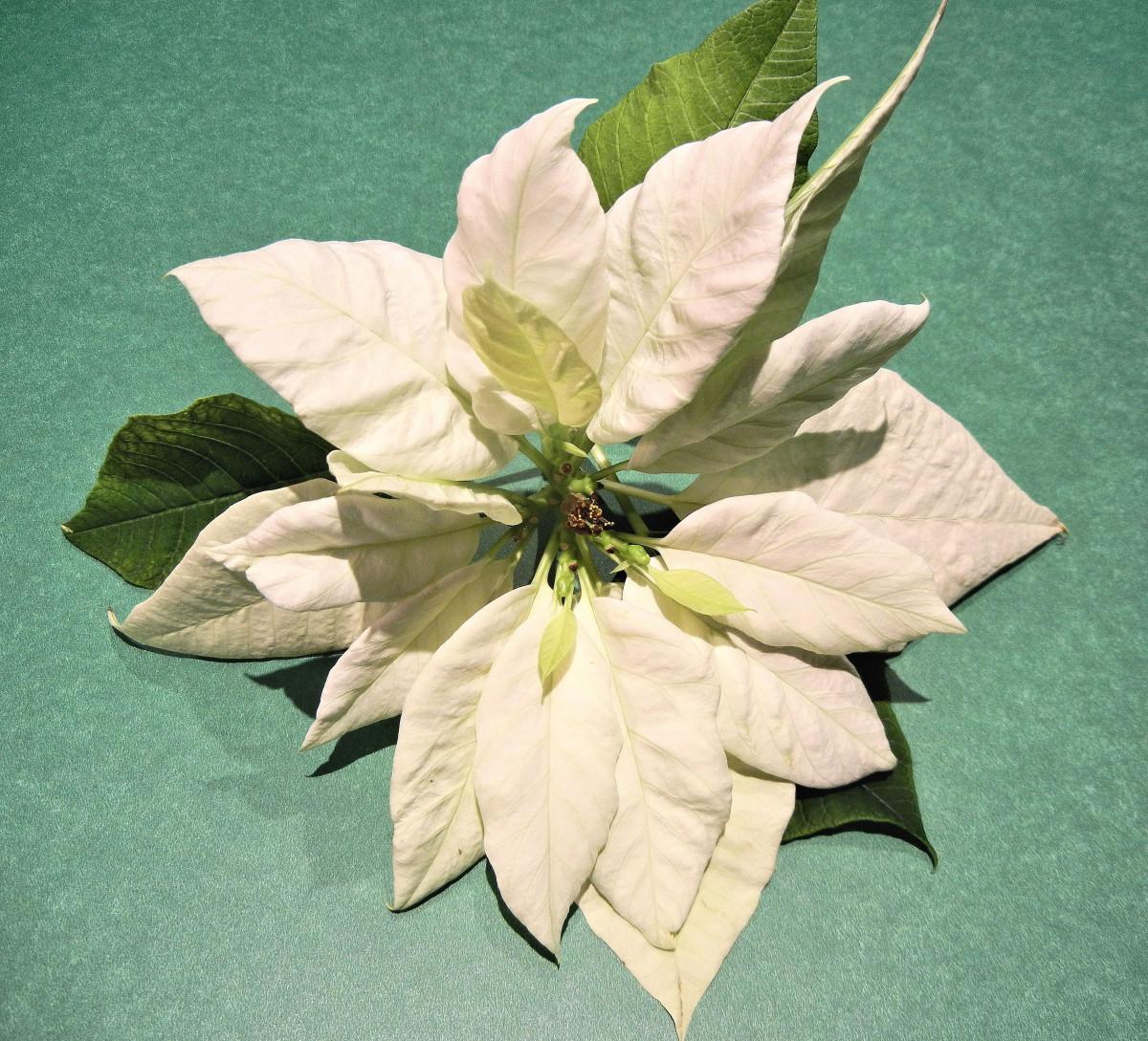 Images gratuites herbe plante feuille fleur p tale for Plante 8 feuilles