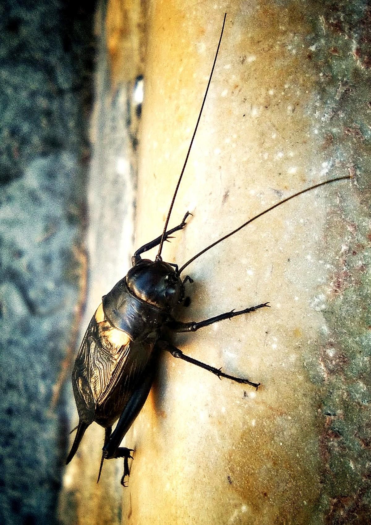 images gratuites la photographie insecte faune invert br fermer ailes scarab e. Black Bedroom Furniture Sets. Home Design Ideas