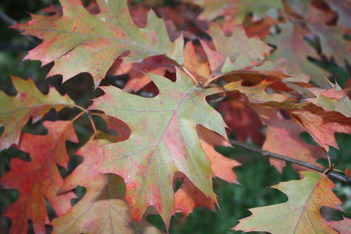 для картинка кленового и дубового листа живые