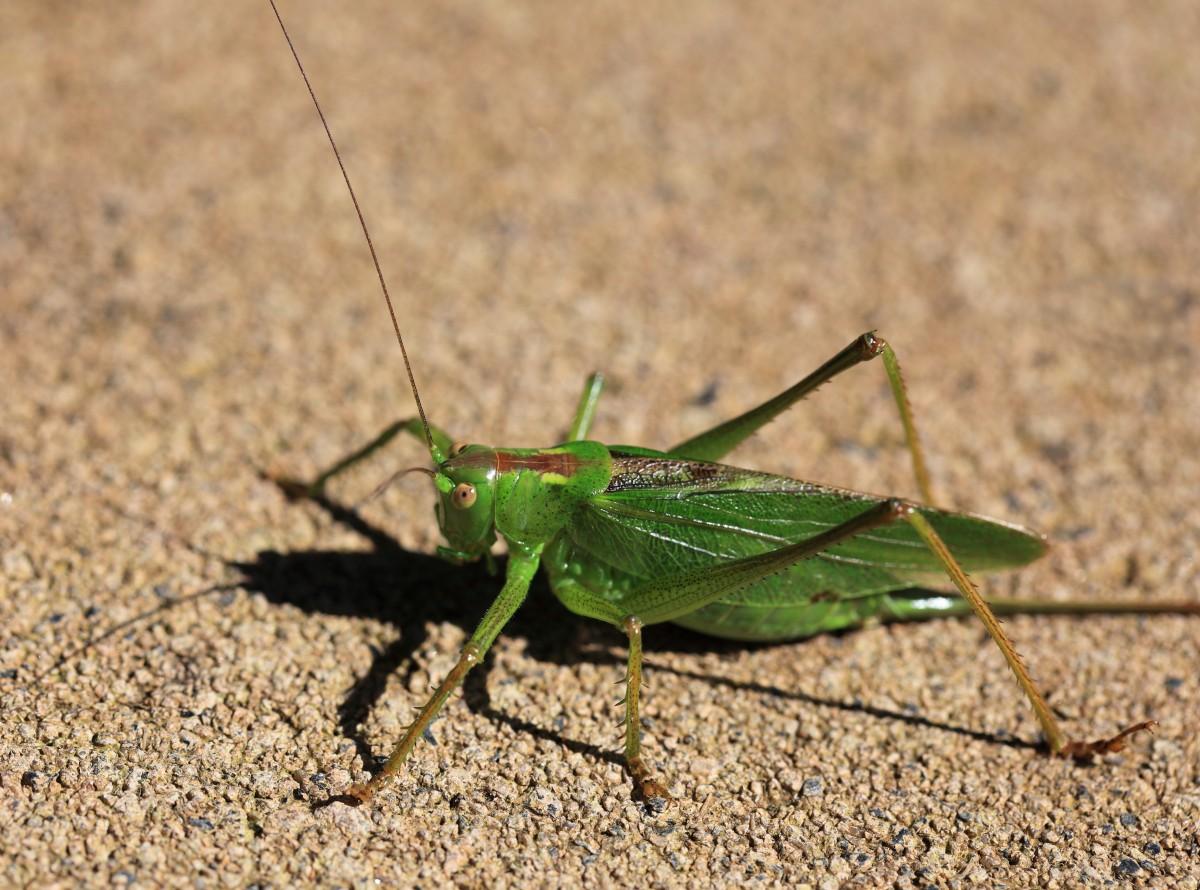 Images gratuites la nature vert macro punaise faune - Insecte vert volant ...