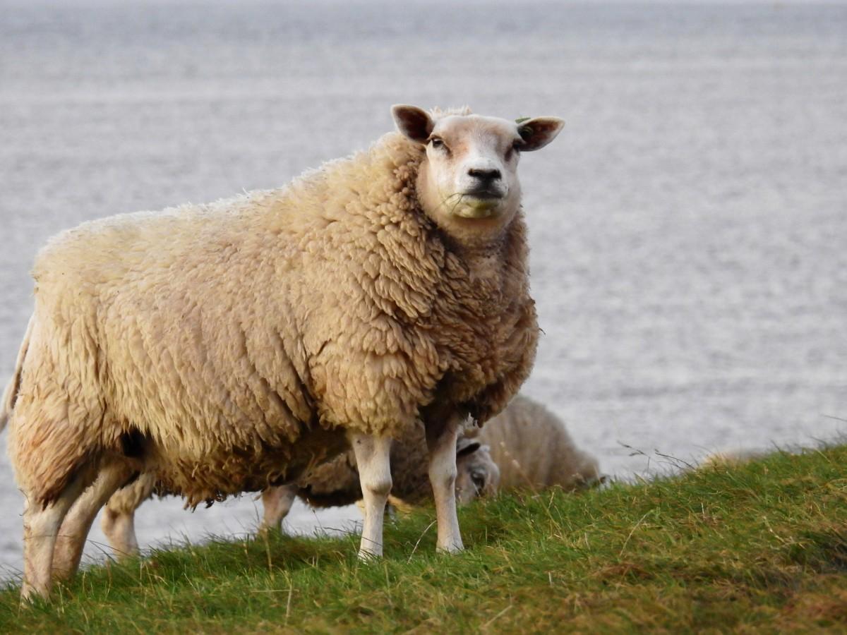 Images gratuites la nature lac animal p turage - Photos de moutons gratuites ...