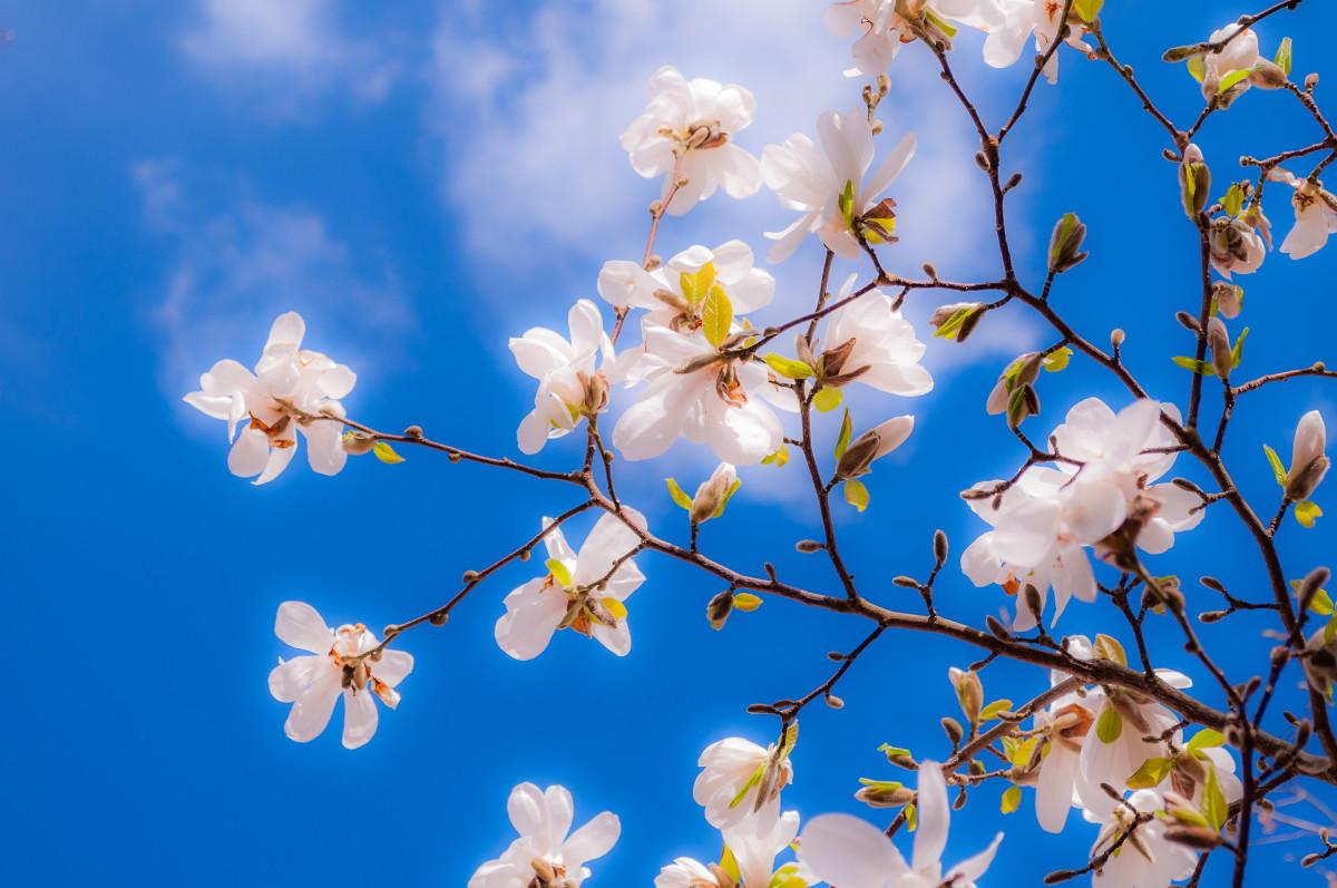 Images gratuites magnolia fleurs printemps bourgeon - Fleurs roses de printemps ...