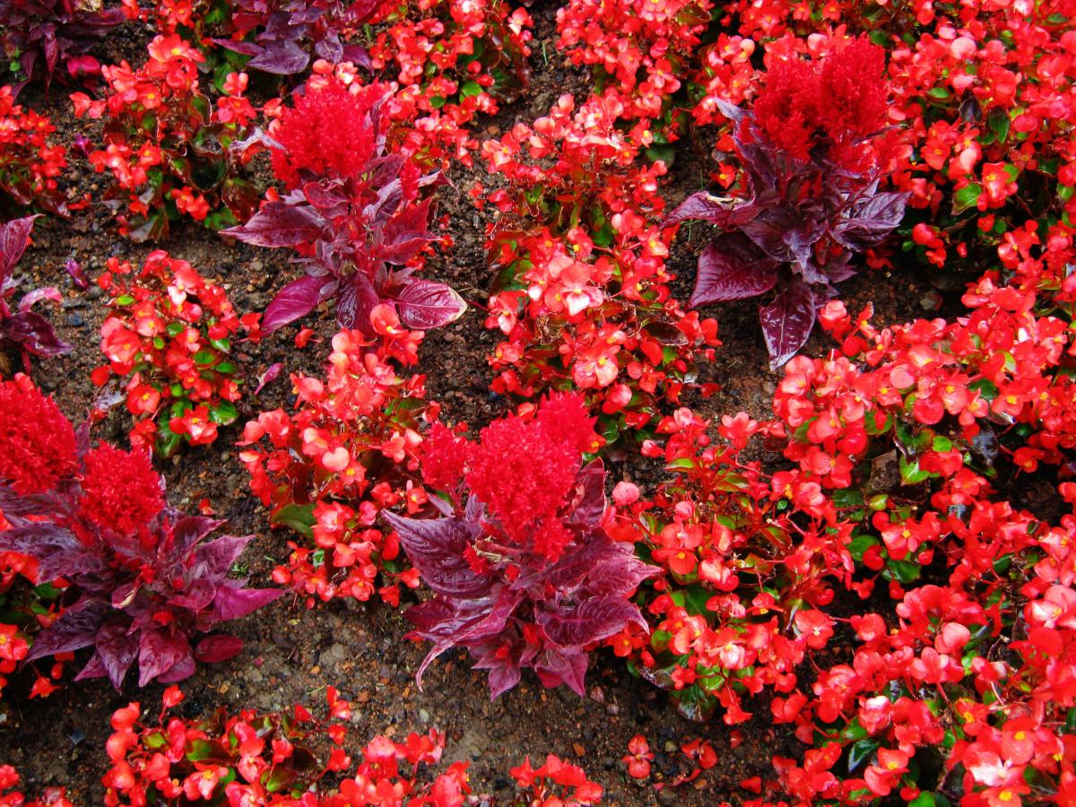 Images gratuites arbre fleur rose printemps rouge - Arbuste fleur rouge printemps ...