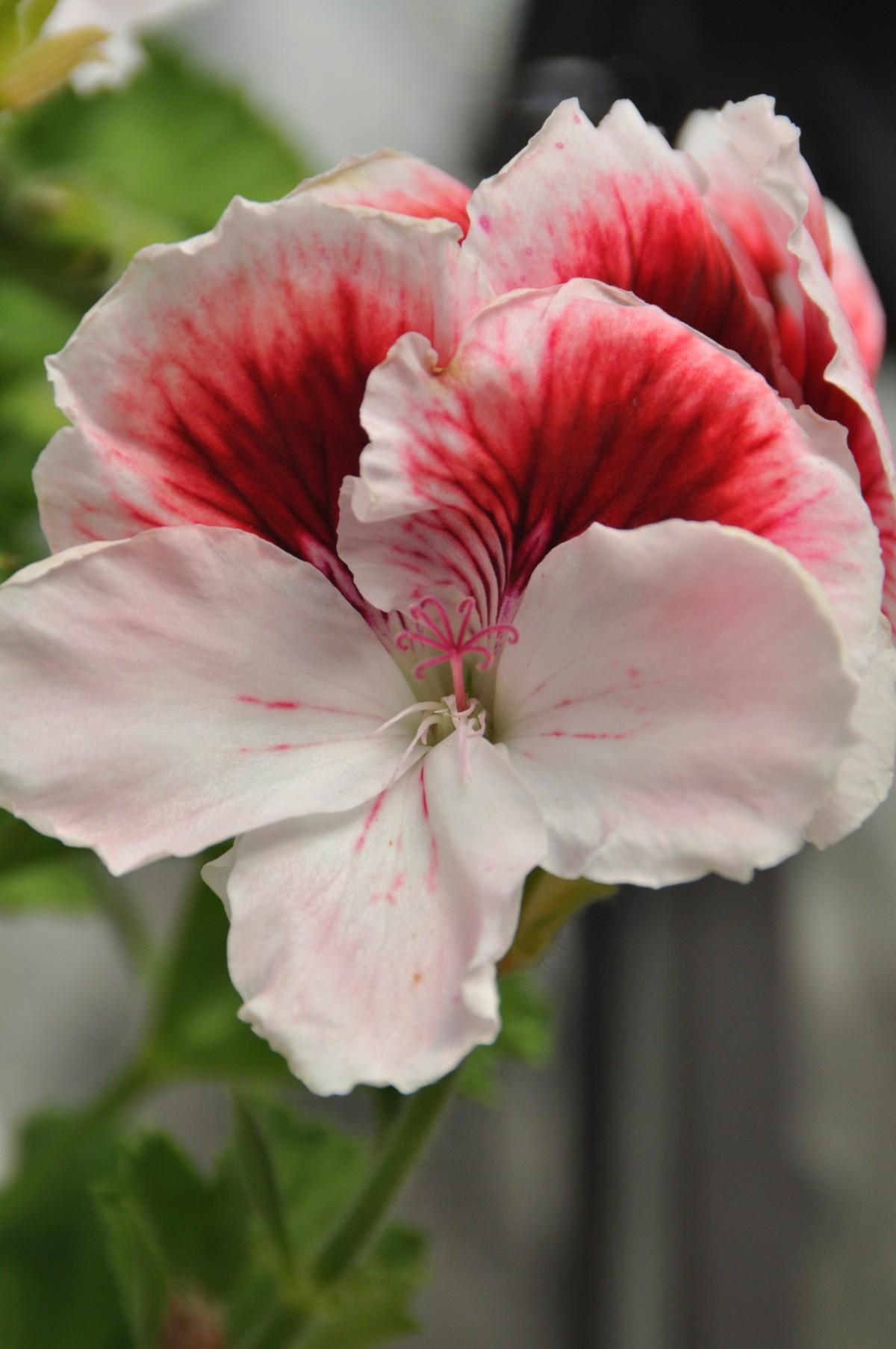 Images gratuites plante fleur balcon rouge g ranium for Geranium d interieur