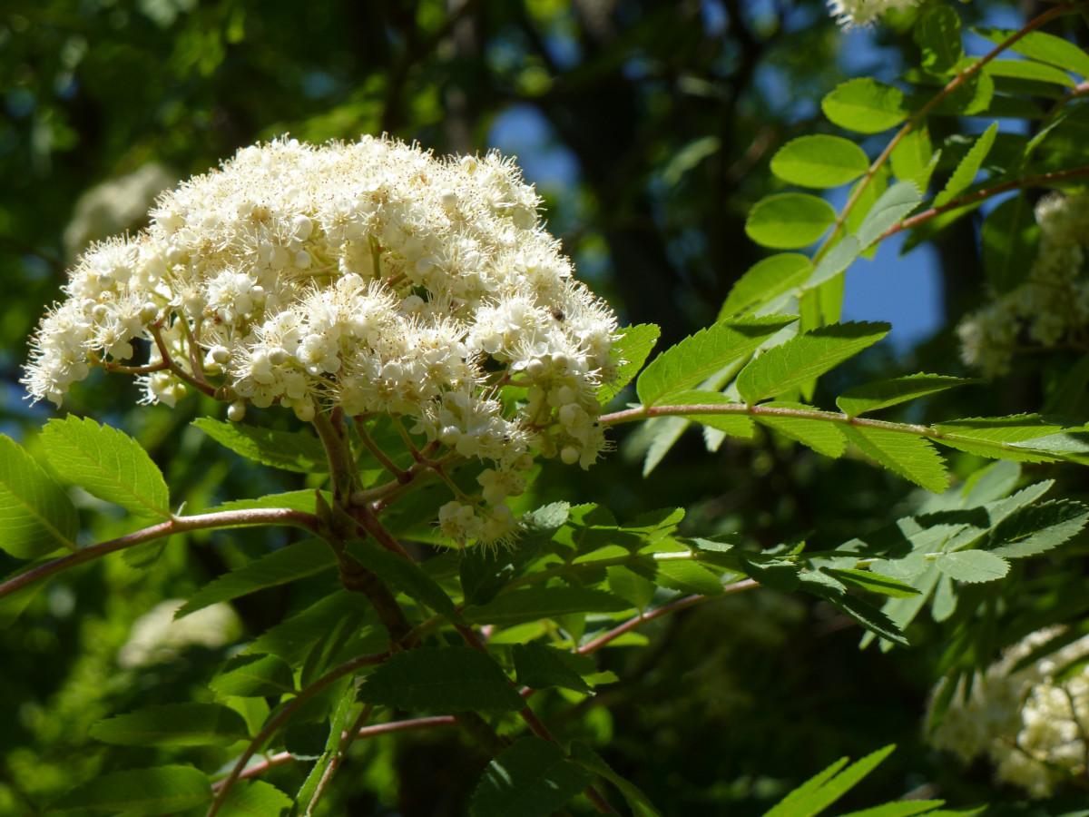 Fotos gratis rbol naturaleza rama flor blanco hoja for Arboles para plantar en verano