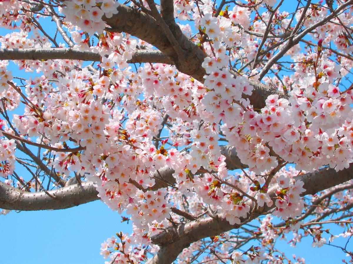 Images gratuites arbre branche aliments produire naturel botanique rose flore fleur de - Arbre du japon ...