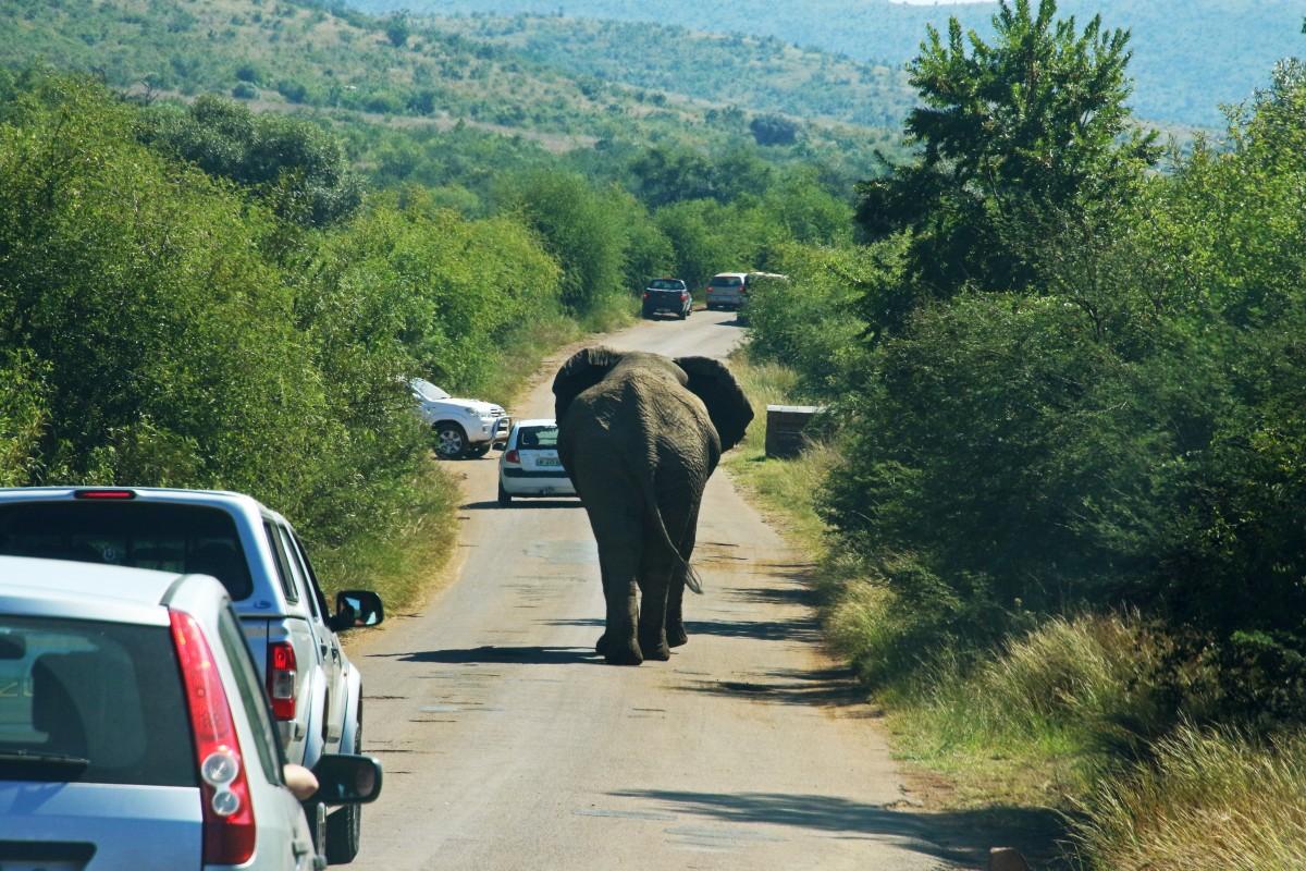 éléphant, éléphants et mammouths, mode de transport, faune, route, safari, artère, éléphant indien, véhicule, infrastructure, éléphant d'Afrique, animal de travail, voiture, trafic