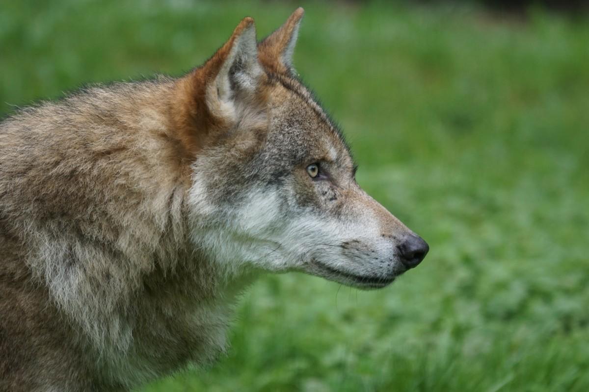 Free Images : fauna, howl, vertebrate, wildlife ...
