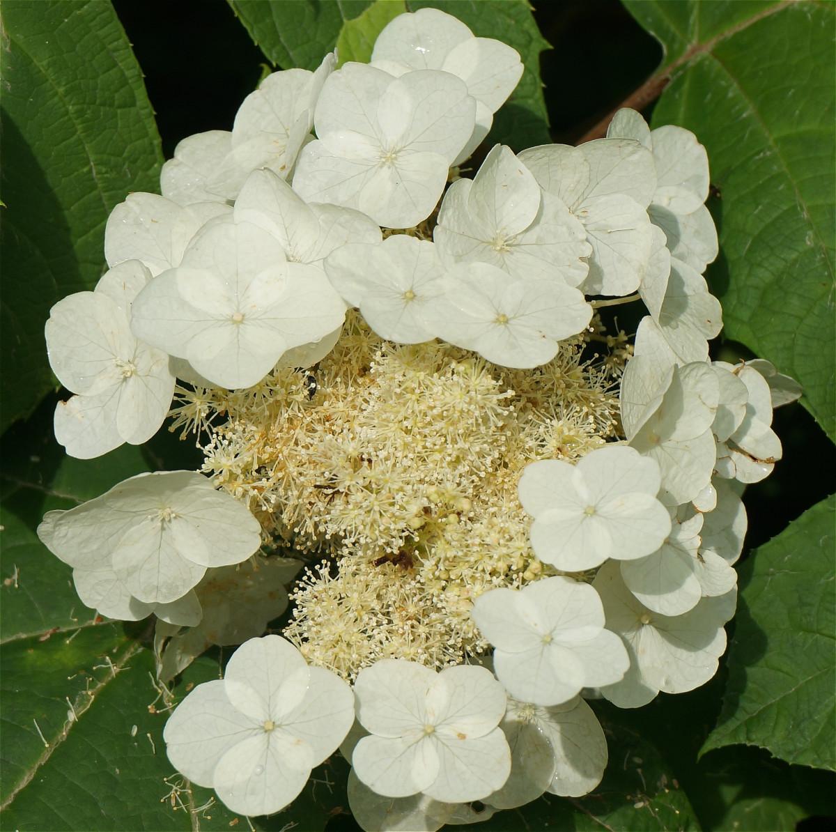 Welche Blumen Bl Hen Im September schneeball blume schneeball blume schneeball blume aussehen herkunft schneeball blume aussehen