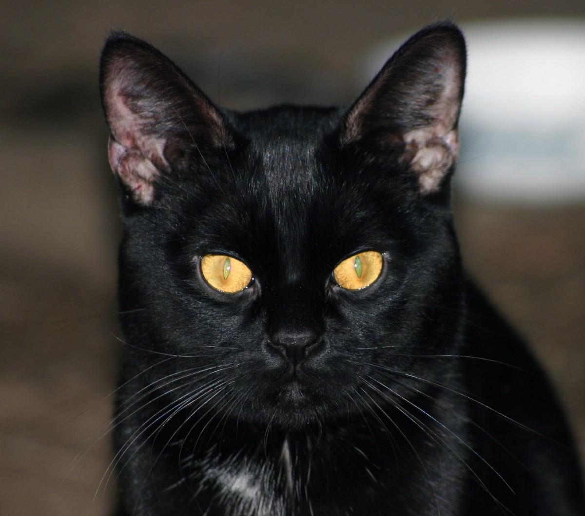 Černochov mačička obrázky