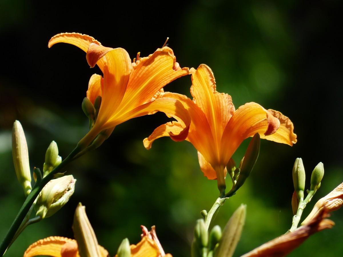 Images gratuites fleur canada ontario lis plante for Plante orange