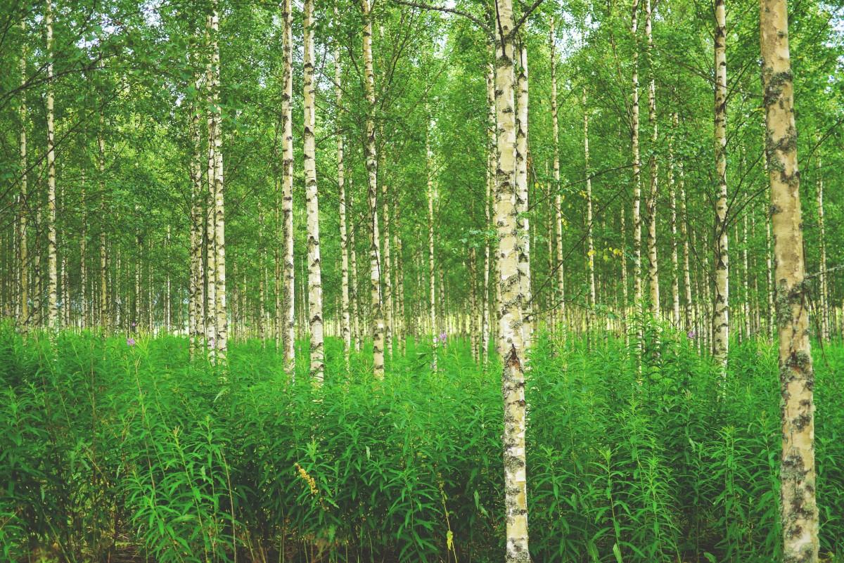 Images gratuites arbre la nature vert bouleau des - Arbres a feuilles caduques ...