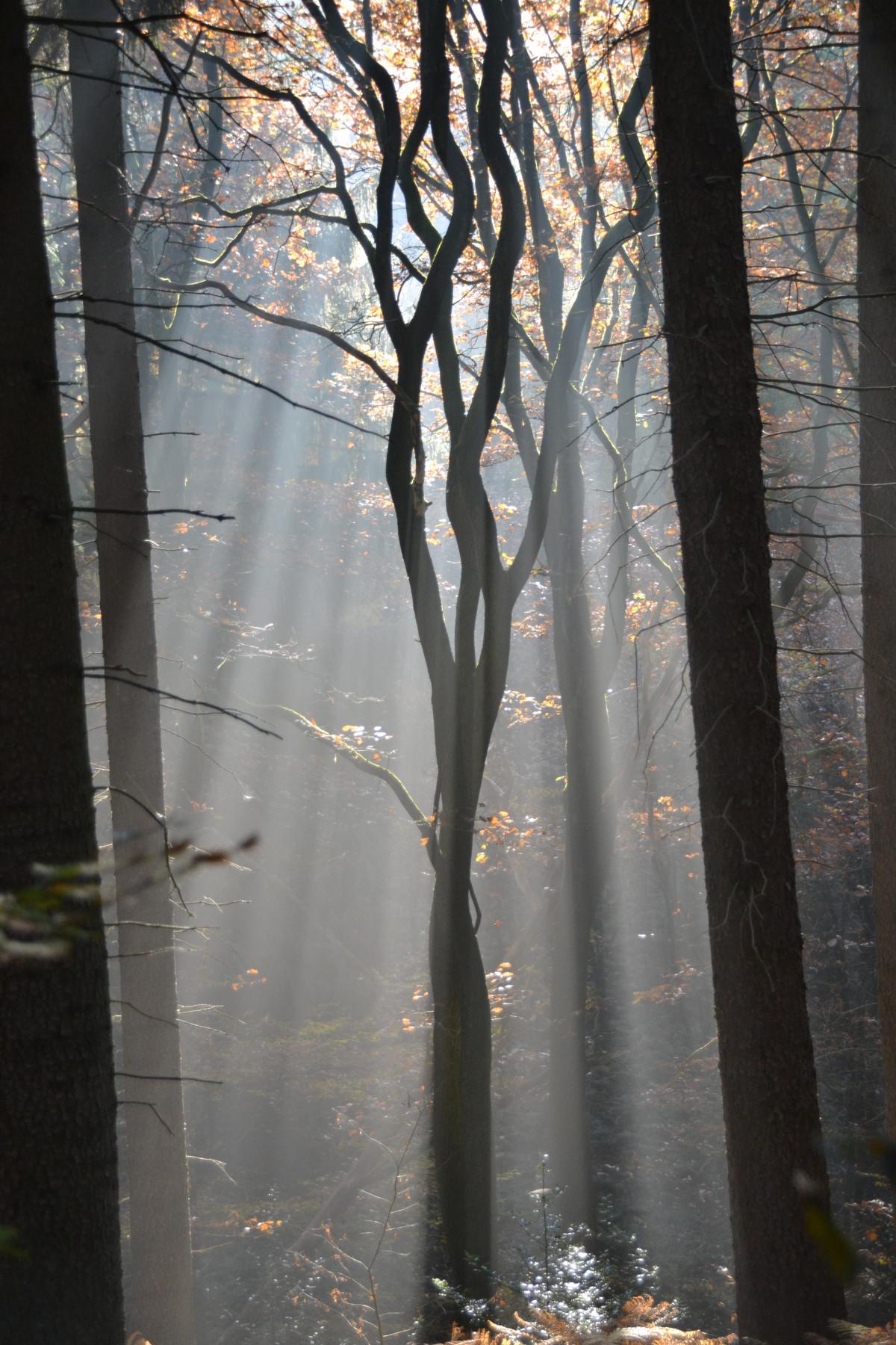 kostenlose foto baum natur wald ast winter licht nebel sonnenlicht morgen blatt. Black Bedroom Furniture Sets. Home Design Ideas