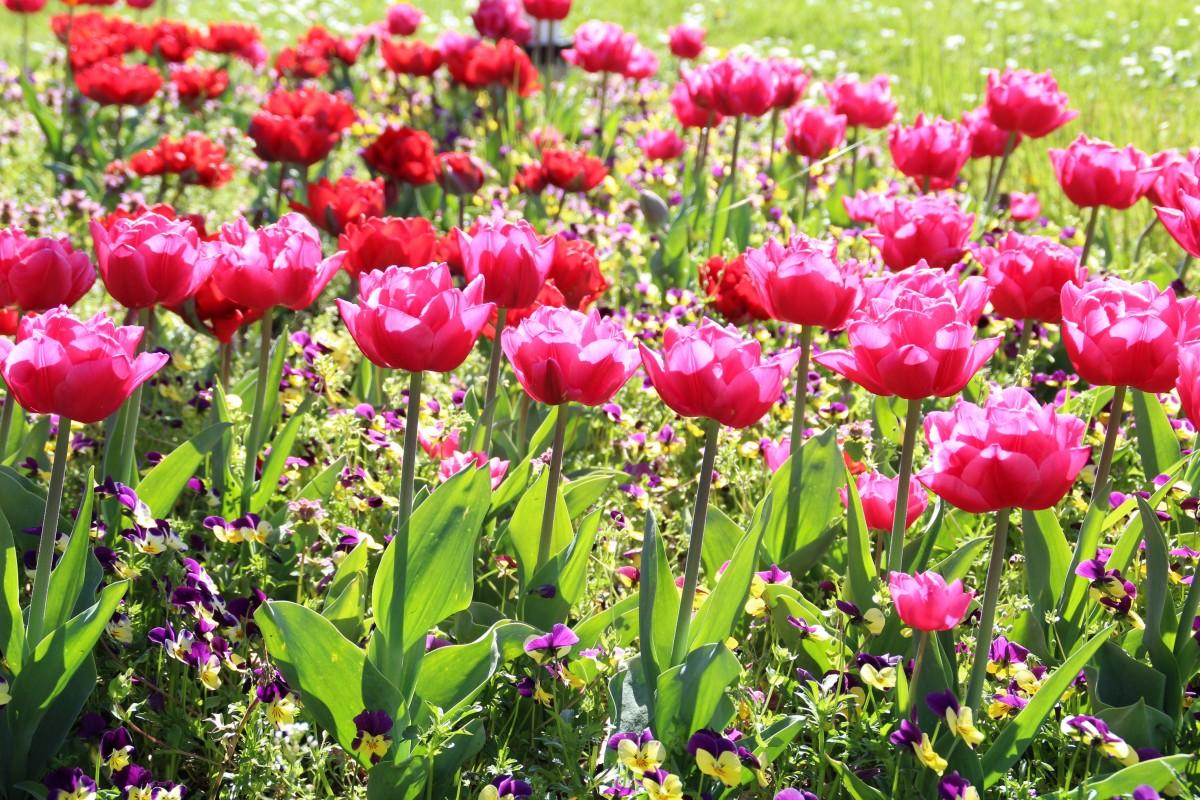 Free Images Landscape Nature Tulip Spring Pink Plants