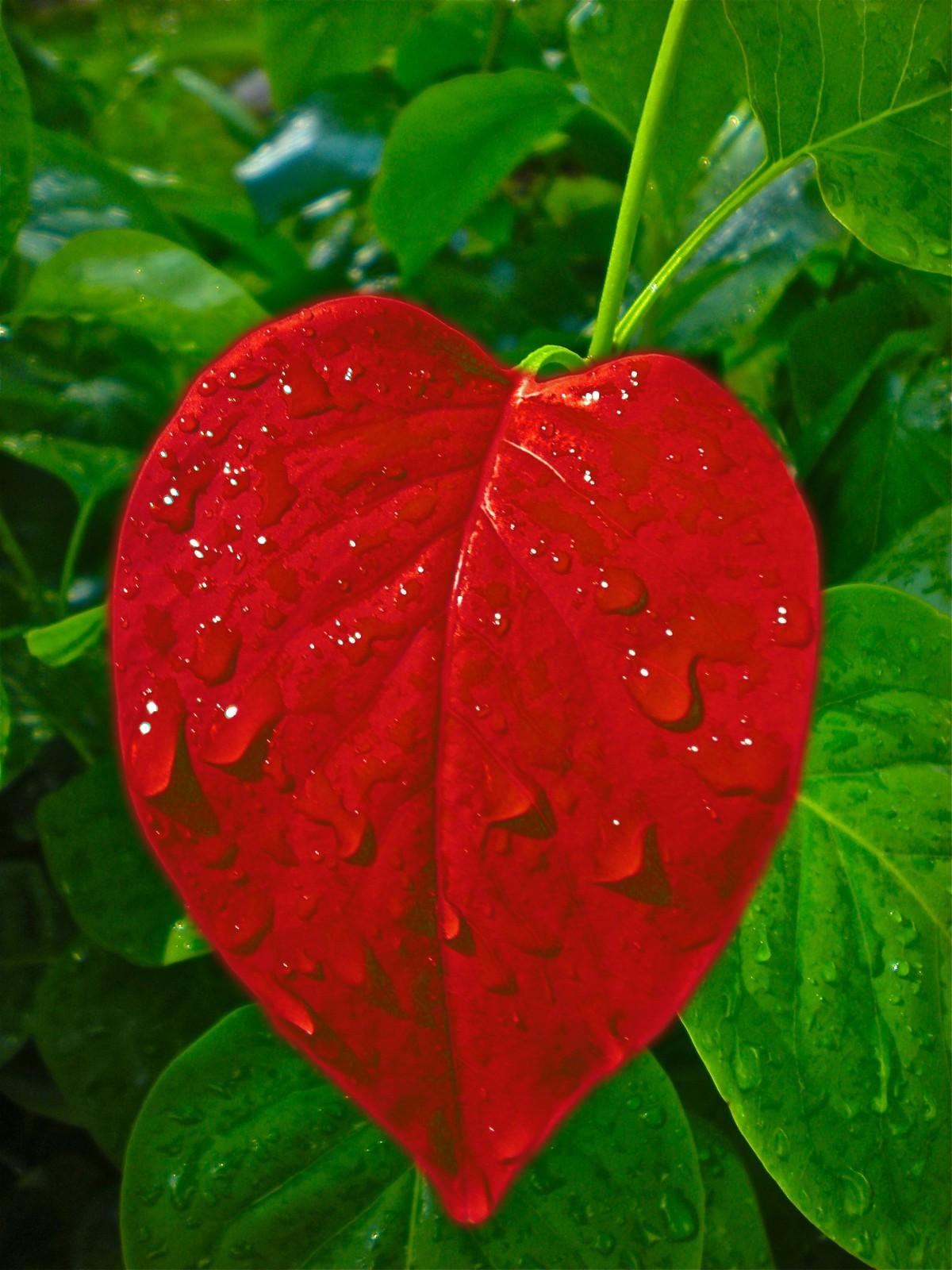 Картинки красные листья сердца