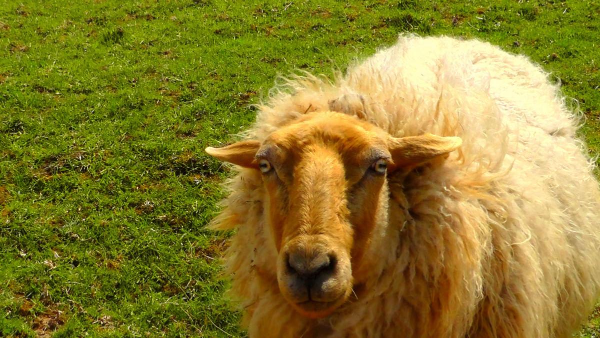 Images gratuites fourrure p turage mammif re fermer - Photos de moutons gratuites ...