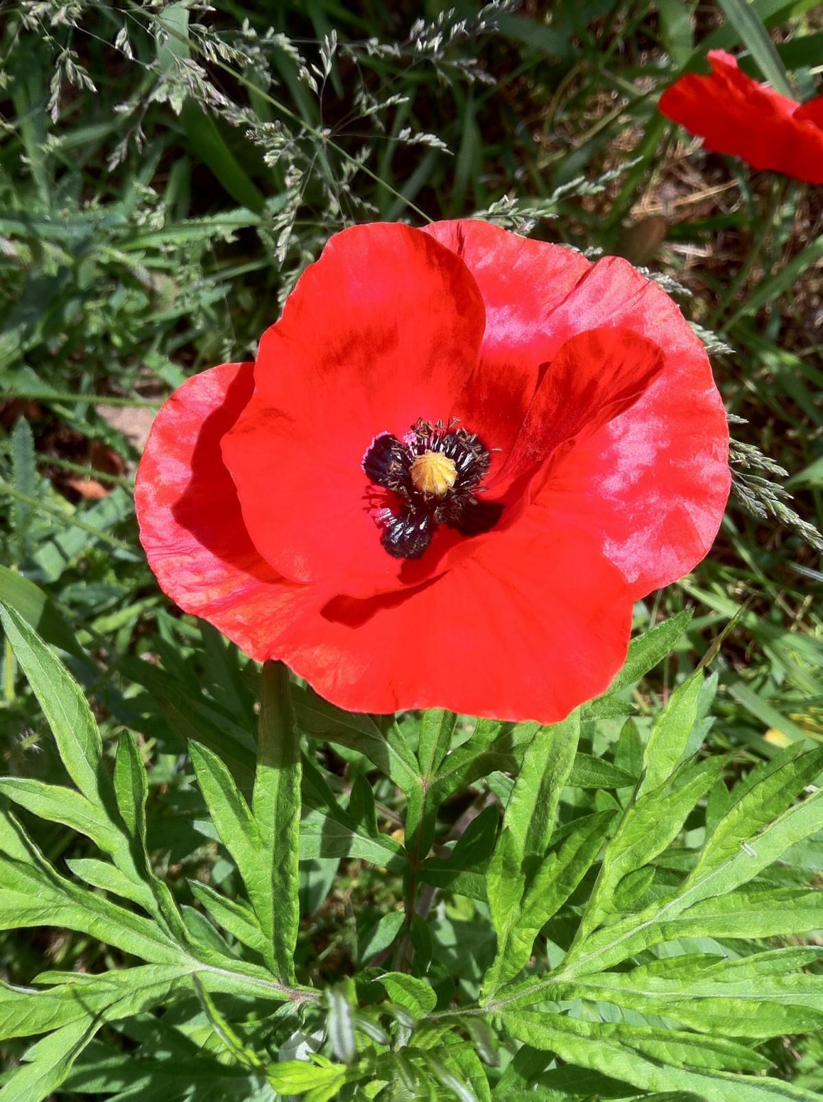 kostenlose foto natur blume bl tenblatt gr n rot schwarz flora klatschmohn mohnblume. Black Bedroom Furniture Sets. Home Design Ideas
