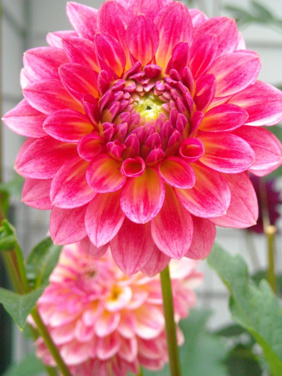 images gratuites fleur p tale jardin dahlia pivoine plante fleurs famille de. Black Bedroom Furniture Sets. Home Design Ideas