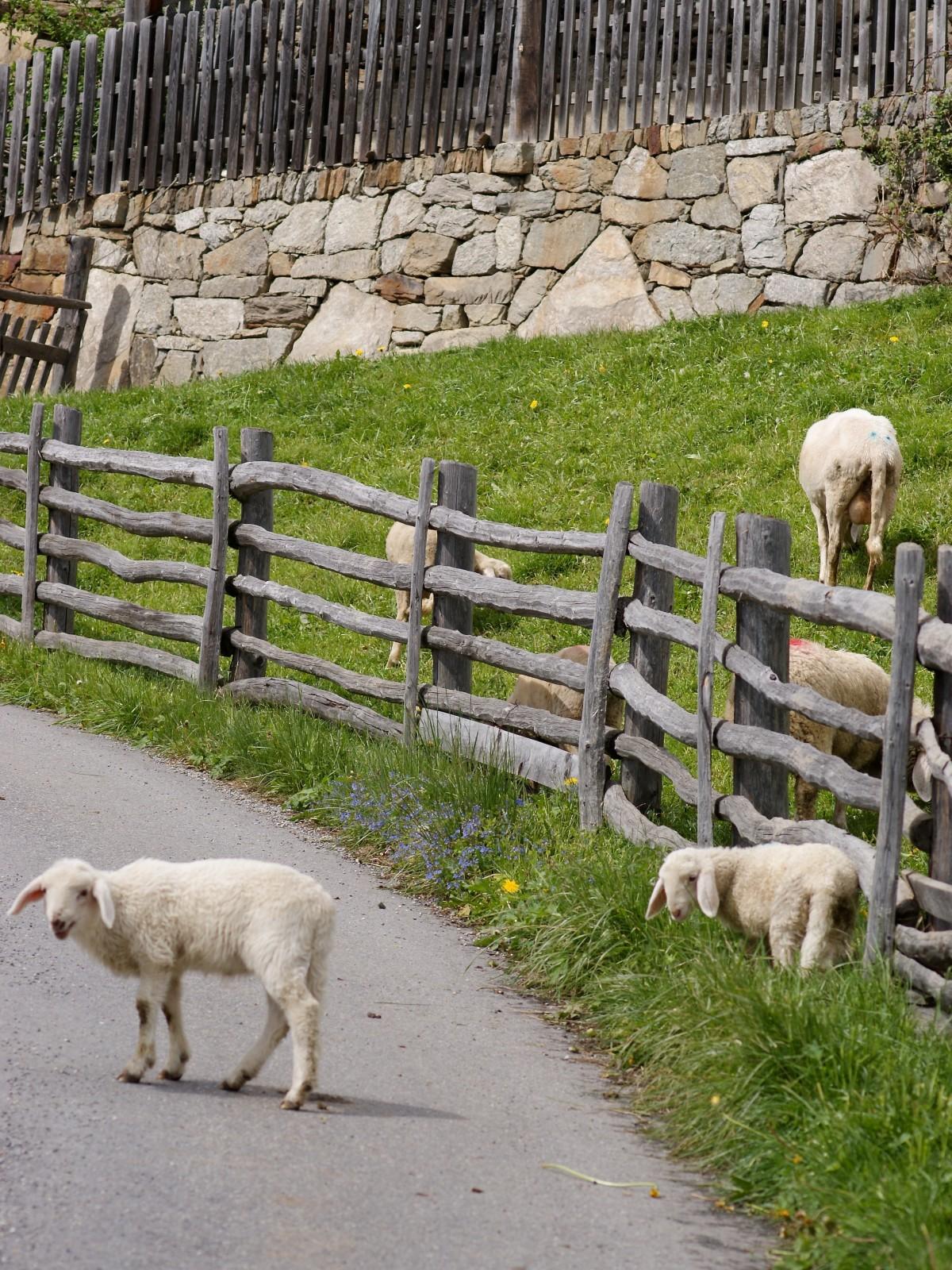 free images nature pasture sheep lamb mountain goat goats