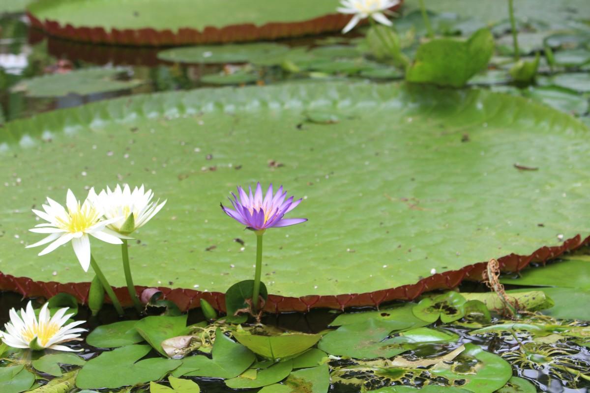 for Jardin loto ibi